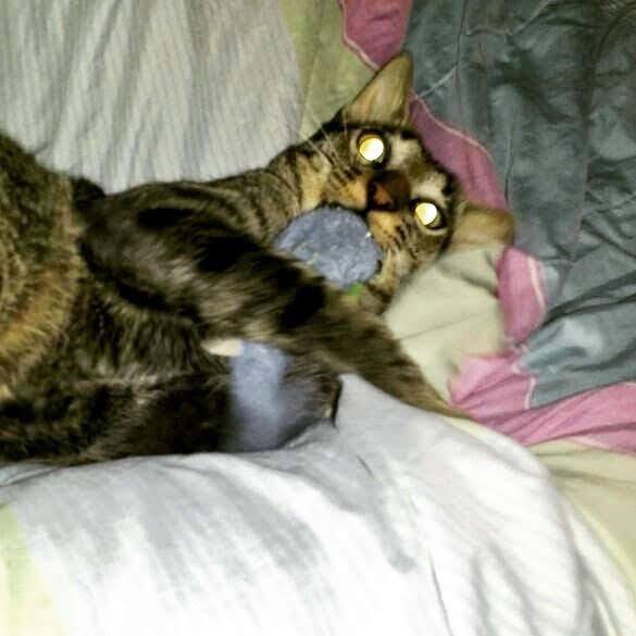 Kojima, o meu gato, brincando com seu peixe de pelucia